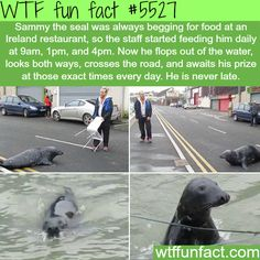 "A seal in Ireland - Is always ""on time"" for food from a restaurant! - WTF awesome fun facts"