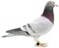 Pigeons have been a long part of history before they were trained to be racing pigeons for sale in today's modern times.