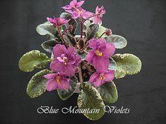 """African Violet Plant """"Rob's Zinfandel"""""""