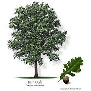 Bur Oak - Tribute HOA approved - Oak, Bur Common Name: Bur Oak Quercus macrocarpa Tree Size: Large Leaf Type: Deciduous Comments: Excellent, drought-tolerant native tree, with rough texture and large acorn Fast Growing Trees Texas, Fast Growing Shade Trees, Texas Landscaping, Landscaping Plants, Diy Garden, Garden Trees, Ficus, Drought Tolerant Trees, Baumgarten