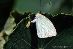 Mariposa poniendo sus huevos en una hoja / Butterfly laying eggs on a leaf