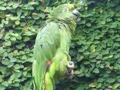 Papagaio mais Falante do brasil
