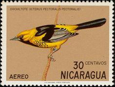 Nicarágua: Icterus pectoralis pectoralis, chichiltote - (peito turpial manchado)