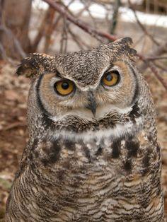 Great Horned Owl « Utah's Hogle Zoo