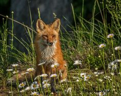 Canadian Wildlife Photography of the Year Competition | Fox and the Daises