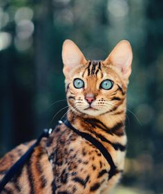 Que belleza - Savannah Cat - Ideas of Savannah Cat - Que belleza Savannah Cat Ideas of Savannah Cat Que belleza The post Que belleza appeared first on Cat Gig. The post Que belleza appeared first on Cat Gig. Pretty Cats, Beautiful Cats, Animals Beautiful, Cute Cats, Funny Cats, Cute Animals, Adorable Kittens, Gorgeous Eyes, Animals Images