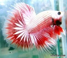 male betta blue butterfly - Google Search