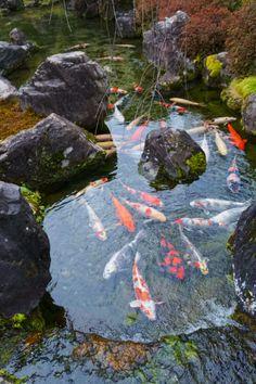 Koi Fish Discover Hope You Enjoy Kyoto 日々の記録 Large Backyard Landscaping, Ponds Backyard, Beautiful Fish, Beautiful Gardens, Koi Pond Design, Fish Pond Gardens, Goldfish Pond, Tropical Freshwater Fish, Asian Garden