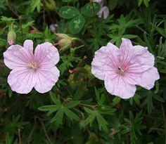 Jungfrunäva - Geranium sanguineum ´Striatum´