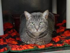 Christy is a delight.  She started out so shy and quiet and has blossomed into a loving kitty who adores having her tummy rubbed.  Sometimes she still startles at loud noises or sudden movements, but then she comes right back asking for more...