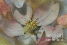 Apple Blossom 2 by Angie Vogel Fine Art America, Digital Art, Apple, Wall Art, Medium, Artist, Flowers, Photography, Painting