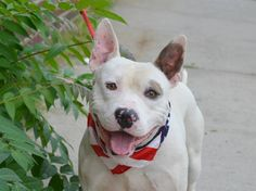 TO BE DESTROYED 7/22/14 Brooklyn Center   My name is JOHNSON. My Animal ID # is A1006936. I am a male white pit bull mix. The shelter thinks I am about 5 YEARS old.  I came in the shelter as a STRAY on 07/16/2014 from NY 11208, owner surrender reason stated was STRAY.