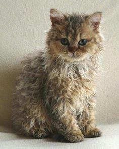 Selkirk Rex kitten Super Cute Kittens, Kittens Cutest, Cats And Kittens, Cats Meowing, Cats Bus, Ragdoll Kittens, Laperm, Pretty Cats, Beautiful Cats