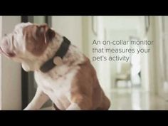 """""""Data dogs: how a new startup, Whistle, is a building a Fitbit for your pooch"""" via The Verge"""