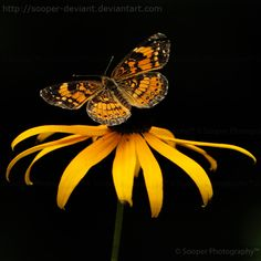 Pearl Crescent resting on a Black-eyed Susan    Black Pearl 4096 by Sooper-Deviant Repinned by Pinterest Pin Queen ♚