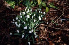 RHS Plant Selector Galanthus nivalis AGM / RHS Gardening