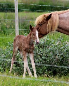 Today there are just 7 weeks until we can expect the first foals to be born.  There should be 6 foals born on Langhus farm (horse tours) this summer.  I look so much forward to it, joy waiting ahead :)