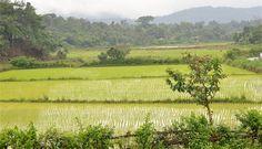 Rice paddies in Kodagu. (Photo by S Gopikrishna Warrier)
