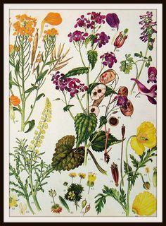 Vintage Botanical Image Art Print