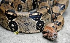 Ohio boa constrictor: Firefighters kill snake 'stuck to woman's face'