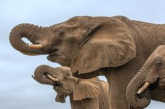 Elephants #ivoryforelephants #elephants #stoppoaching #animals #ivory