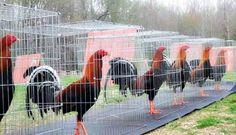 Fotos de gallos 1 | Gallos FinosGallos Finos