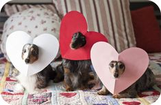 So cute -- Dachshunds dressed as Valentines!