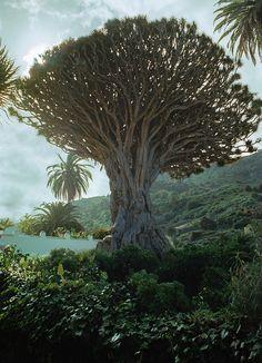 The ancient Dragon Tree of Icod de los Vinos, Tenerife, Spain