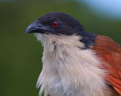 Cucal-de-Burchell / Burchell's coucal | Flickr - Photo Sharing!
