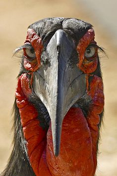 Ground Hornbill by Tim Allen