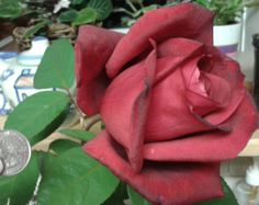 Last rose of the summer? That is a quarter for size reference. It is huge! The stem is over 2 feet long.