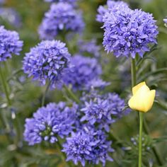 Globe Gilia SeedsA lovely and unique wildflower, native to Western North America, Globe Gilia is an easy to grow annual, blooming with beautiful clusters of light blue flowers atop strong, tall stems. Adaptable to sun or partial shade conditions, Globe Gilia is a one of a kind bloom that should be included in any wildflower or ornamental garden!