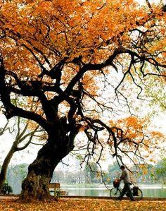Những cây lộc vừng, cây bàng chuyển lá và mùi cốm thơm là những dấu hiệu để người ta biết, thu đang về.
