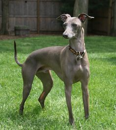 this little guy. not him specifically just a him, ie italian greyhound.