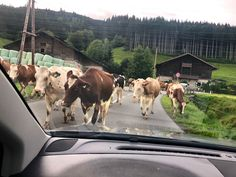 #Kuhstau #kuh #cowtrafficjam #cows   Traffic jams in Kaprun 🐄🐄🐄 Alpine Village, Cows, Adventure, Animals, Kaprun, Animales, Animaux, Animal, Adventure Movies