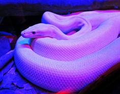 Le plus chaud Photos Reptiles fondos Réflexions Lavender Aesthetic, Violet Aesthetic, Rainbow Aesthetic, Bad Girl Aesthetic, Aesthetic Colors, Aesthetic Collage, Aesthetic Pictures, Pretty Snakes, Beautiful Snakes