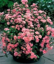 rose - best shrub rose ever. Can't kill it, blooms its head off all summer.Fairy rose - best shrub rose ever. Can't kill it, blooms its head off all summer. Garden Shrubs, Lawn And Garden, Garden Plants, Garden Landscaping, Landscaping Ideas, Roses Garden, House Plants, Bonsai Plants, Landscaping Software