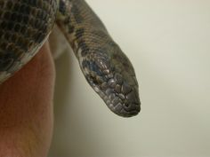 Python - Spotted Snakes, Python, Reptiles, Treats, Food, Sweet Like Candy, Goodies, A Snake, Snake