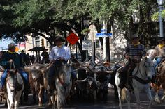 Longhorn cattle drive, San Antonio, Texas