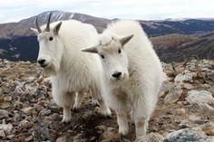 Mountain Goat, can be dangerous!