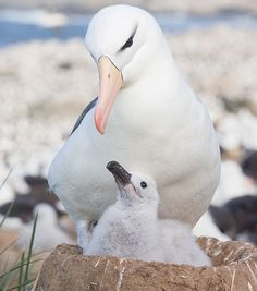 Black-browed Albatross and its chick on Steeple Jason Island, part of the Falkland Islands