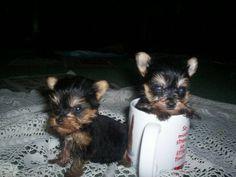 Tiny Teacup Yorkie puppies