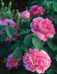 ~Pink 'The Countryman' roses