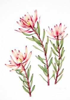 watercolor paintings of australian flowers Watercolor Plants, Floral Watercolor, Watercolor Paintings, Watercolours, Flower Paintings, Watercolor Tattoo, Protea Art, Australian Wildflowers, Australian Native Flowers