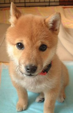 Shiba Inu - my brother wants this dog... and we might actually get it because my mom thinks it's adorable