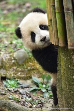 So in Love with Pandas! ♥ So in Love with Pandas! ♥ So in Love with Pandas! ♥ So in Love with Pandas! Panda Kawaii, Niedlicher Panda, Cute Panda, Photo Panda, Animals And Pets, Funny Animals, Baby Panda Bears, Baby Pandas, Panda Babies