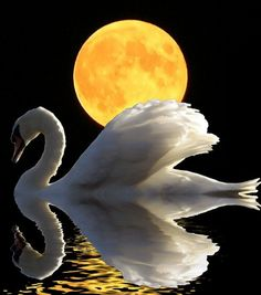 Swan swimming with the moon - beautiful birds. Beautiful Moon, Beautiful Birds, Animals Beautiful, Cool Photos, Beautiful Pictures, Shoot The Moon, Swan Lake, Mellow Yellow, Color Yellow