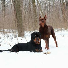 Rottweiler and Doberman... My two dream dogs to have <3