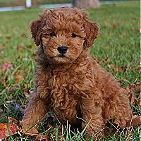 Miniature Goldendoodle - met one of these little guys earlier today - still smitten!