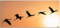 Panoramic Silhouette of Painted Stork flying against the setting Sun!